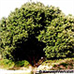 Holm Oak, Holly Oak, Evergreen Oak