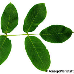 Leaf upperside (Common walnut)