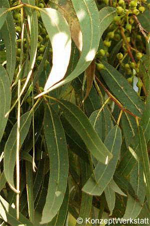 Stihl Encyclopaedia Tasmanian Blue Gum Southern Blue